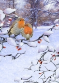 Christmas Cards Design ~ Festive Robins